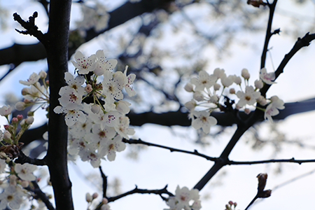 Picture of white blossoms